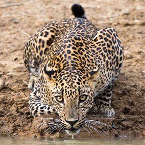 Leopard Safari Yala